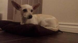 "Adult Female Dog - Chihuahua: ""Sweet Ums"""