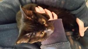 "Baby Female Cat - Domestic Short Hair: ""Tina"" Regina Regina Area image 1"