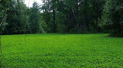 5 lbs Alfalfa, Ladino Clover, Red Clover, Chicory Deer Food Plot Seed Mix