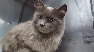 """Young Female Cat - Russian Blue-Domestic Long Hair: """"Pebbles"""""""