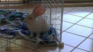 "Adult Male Rabbit - New Zealand: ""Floyd"" Cambridge Kitchener Area image 2"