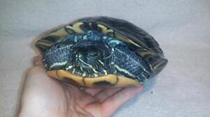 """Adult Female Scales, Fins & Other - Turtle: """"Tofu"""""""