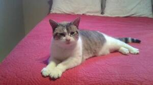 "Adult Female Cat - Domestic Short Hair - gray and white: ""Bunny"""