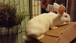 """Adult Female Rabbit - New Zealand: """"McTwisp"""" Cambridge Kitchener Area image 2"""