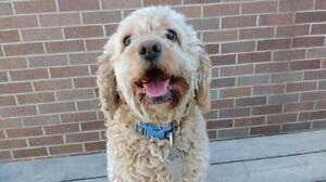 "Adult Female Dog - Cockapoo: ""Sophie"""