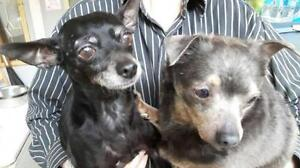 """Adult Female Dog - Chihuahua: """"Ruby and Lawrence"""""""