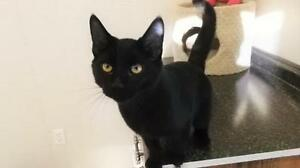 "Young Male Cat - Domestic Short Hair-black: ""Onyx"""