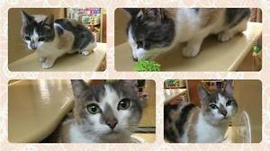 """Young Female Cat - Dilute Calico: """"Tina"""""""