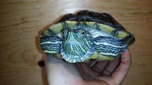 """Adult Female Scales, Fins & Other - Turtle: """"Nikki"""""""