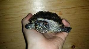"""Young Female Scales, Fins & Other - Turtle: """"Silvia"""""""
