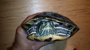 """Young Female Scales, Fins & Other - Turtle: """"Jiggy"""""""