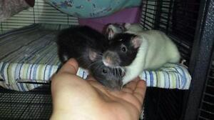 "Young Male Small & Furry - Rat: ""Gaston & Chias"""