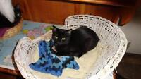 "Young Female Cat - Domestic Short Hair-black: ""Lily"""