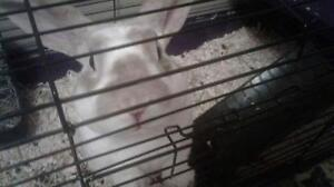 "Young Male Rabbit - Mini Rex: ""Harvey"""