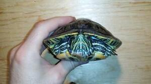 """Young Male Scales, Fins & Other - Turtle: """"Brett"""""""