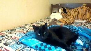 "Adult Female Cat - Domestic Short Hair-black: ""Saprina"""