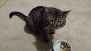 "Adult Male Cat - Tabby: ""Buster Brown"""