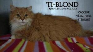 Adult Male  - Domestic Long Hair - orange and white