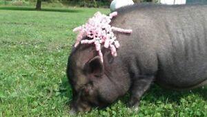 Mini potbelly pig