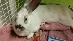 """Adult Female Rabbit - Bunny Rabbit: """"Kat"""""""
