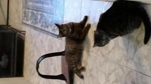 """Adult Female Cat - American Shorthair: """"Kitty and Squirrel"""""""