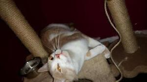 """Young Male Cat - Domestic Short Hair - orange and white: """"Larry"""" Kawartha Lakes Peterborough Area image 2"""