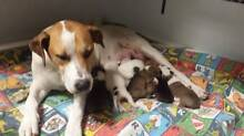 Bull Arab X Puppies - Hunter Animal Rescue Mayfield Launceston Area Preview
