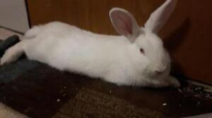 "Young Male Rabbit - New Zealand: ""Snowflake"""