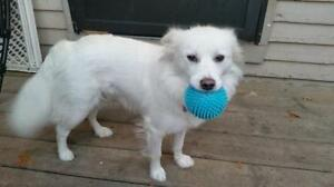 "Adult Female Dog - American Eskimo Dog: ""Ivory"""