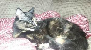 "Young Female Cat - Domestic Short Hair: ""Jade"" Kawartha Lakes Peterborough Area image 2"