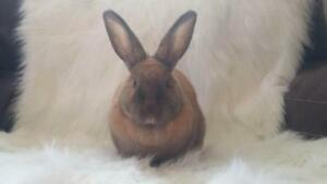 "Young Female Rabbit - Cinnamon: ""Mirabel"""
