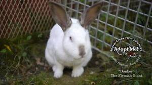 "Young Male Rabbit - Californian: ""Donkey"""