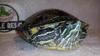 """Adult Male Scales, Fins & Other - Red-eared Slider: """"Edgar"""""""