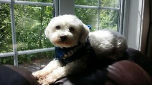 "Adult Male Dog - Maltese: ""Mickey"""