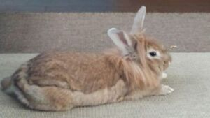 "Adult Female Rabbit - Lionhead: ""Lucy"""