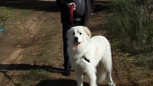 "Young Male Dog - Great Pyrenees: ""Hamilton"""