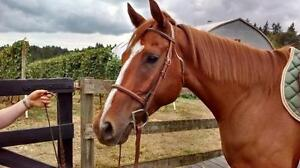 "Young Male Horse - Thoroughbred: ""Major Dundee"""