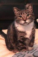 "Adult Female Cat - Domestic Short Hair: ""Rally"""