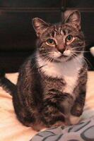 """Adult Female Cat - Domestic Short Hair: """"Rally"""""""