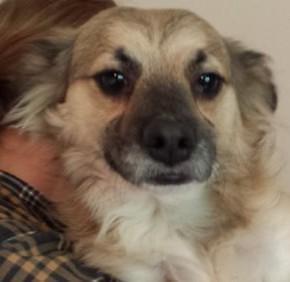"Adult Female Dog - Collie-Spaniel: ""Alia"""