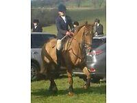 Horse riding/grooming/training volunteer