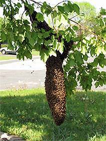 Bee Swarm Removal Dharruk Blacktown Area Preview