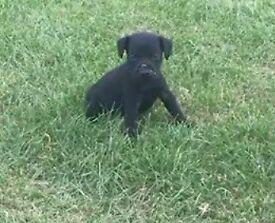 Nuttell patterdale x Lakeland terrier