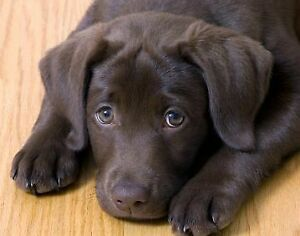 Looking for a male labrador chocolate puppy purebread