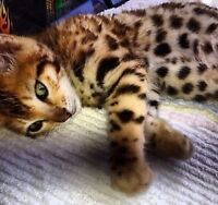 >^,^< OUTSTANDING QUALITY LEOPARD BENGAL KITTENS *****