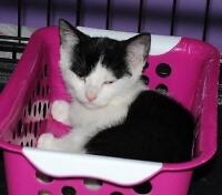"""Baby Female Cat - Domestic Short Hair-black and white: """"Peggy"""""""