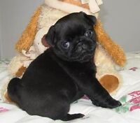 Adorables chiots pug carlin