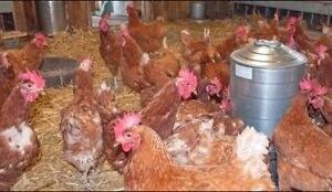 Laying Hens for SALE in  Caledon