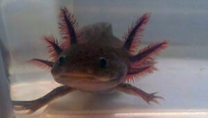 Young Axolotls Looking for Good Homes!