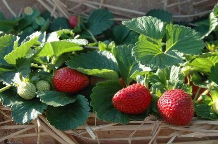 PLANTS STRAWBERRY MACADAMIA PECAN NUT PLUS MANY MORE PLANTS FR$1 Maida Vale Kalamunda Area Preview